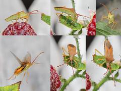 EOS 7D Mark II_085867_C (Gertjan Kamsteeg) Tags: animal invertebrate bug macro insect heteropteran heteroptera truebug wants coreidae boxbug squashbug smallerandwants gonocerusacuteangulatus