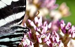 DSC09758 (bokehizm) Tags: f25 90mm tamron butterfly