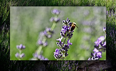 Bees & Lavender (Karen McQuilkin) Tags: lavenderbees art layers buzz