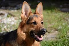 Mexx (_rney_) Tags: shepherd schäferhund deutscherschäferhund germanshepherd hund dog pet gsd animal mexx
