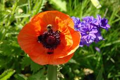 Three busy bumble bees (ilana.greendel) Tags: fleurs