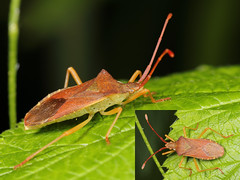 EOS 7D Mark II_086054_C (Gertjan Kamsteeg) Tags: animal invertebrate bug macro insect heteropteran heteroptera truebug wants coreidae boxbug squashbug smallerandwants gonocerusacuteangulatus