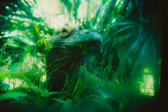 Until the Last Moment (Anthonypresley1) Tags: zoo lizard dragon wildlife reptile komodo predator large indonesia island nature giant varanus wild dinosaur dangerous tropical animal carnivore endangered hunter skin powerful monitor komodoensis tongue exotic asia isolated huge ground portrait coldblooded creature illustration tail crawl eye merciless vector danger famous looking species tourism closeup head claws white fauna memphis tennessee anthony anthonypresley presley