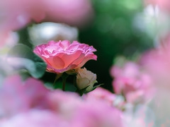 Pink Roses (Tomo M) Tags: thinkpink smileonsaturday rose pink bokeh nature flower petal