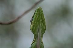 Sticking His Neck Out (ACEZandEIGHTZ) Tags: bokeh lizard nikond3200 reptile knightanole green anolisequestris