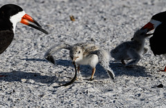 Dinner time (Beth Reynolds) Tags: skimmer birds shore gulf mexico chick fish salty tampabay stpetersburg beach audubon parents brood endangered fuzzy babies
