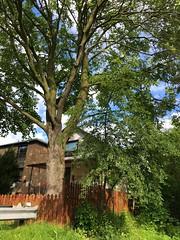 A beautiful tree, fenced in Toronto (Trinimusic2008 -blessings) Tags: trinimusic2008 judymeikle nature fence hff june 2019 summer toronto to ontario canada tree