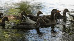 Paddle parade (PChamaeleoMH) Tags: birds fauna geese goslings greylaggeese wimbledonpark greylags