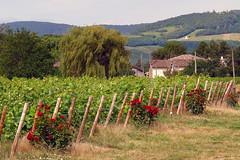 Beau Jolais (fernand.serpol) Tags: beaujolais brouilly fleurs belleville