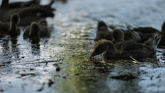 Spotlit (PChamaeleoMH) Tags: birds fauna geese goslings greylaggeese wimbledonpark greylags
