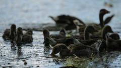 Goosy shapes (PChamaeleoMH) Tags: birds fauna geese goslings greylaggeese wimbledonpark greylags
