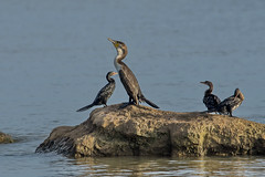 Белогрудый баклан, Phalacrocorax lucidus lucidus, White-breasted Cormorant (Oleg Nomad) Tags: белогрудыйбаклан phalacrocoraxluciduslucidus whitebreastedcormorant птицы африка малави озеро bird aves africa malawi lake