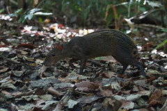 Agouti (Byron Taylor) Tags: deer whitetaileddeer agouti mammals wildlife nature canon7d canon