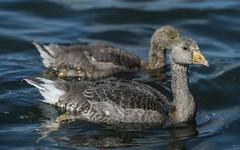 Big and little (1/2) (PChamaeleoMH) Tags: birds fauna geese goslings greylaggeese wimbledonpark greylags