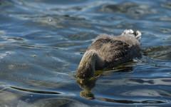 Greylag gosling drinking (1/2) (PChamaeleoMH) Tags: birds fauna geese goslings greylaggeese wimbledonpark greylags