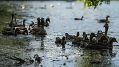 All the goslings! (PChamaeleoMH) Tags: birds fauna geese goslings greylaggeese wimbledonpark greylags