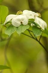 Flowering Dogwood (Derbyshire Harrier) Tags: centralpark 2019 may spring theramble cornusflorida flowering dogwoodnaturetreknew york manhattan flowers usa