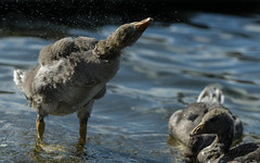 Shaking dry (1/2) (PChamaeleoMH) Tags: birds fauna geese goslings shaking greylaggeese wimbledonpark greylags