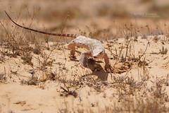 Varanus griseus (Matthieu Berroneau) Tags: sony alpha ff 24x36 macro nature wildlife animal fe sonya7iii sonya7mk3 sonyalpha7mark3 sonyalpha7iii a7iii 7iii 7mk3 sonyilce7m3 herp herping trip israel israël reptile reptilian reptilia lizard smaug dragon varan monitor desert monitordesert du désert varandudésert koah afor koahafor wüstenwaran g oss 55 6fmoss sonyfe100400mmf4556fmoss sonyfe100400mmf4 100400 gm sony100400gm sonyfe100400mmf4556gmoss