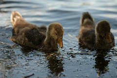 Spotlit dabbler (2/2) (PChamaeleoMH) Tags: birds fauna geese goslings greylaggeese wimbledonpark greylags