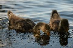 Spotlit dabbler (1/2) (PChamaeleoMH) Tags: birds fauna geese goslings greylaggeese wimbledonpark greylags