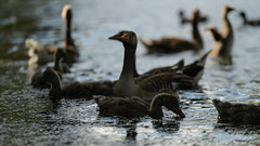 Dabbling and flapping (2/2) (PChamaeleoMH) Tags: birds fauna geese goslings greylaggeese wimbledonpark greylags