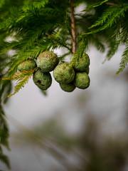 Fruit of a pine (cizauskas) Tags: pine tree seed fruit pod citypark park orlando florida canon canonfd legacylens manualfocus fotodiox bokeh