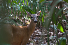 White-tailed deer (Byron Taylor) Tags: deer whitetaileddeer agouti mammals wildlife nature canon7d canon
