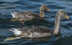 Big and little (2/2) (PChamaeleoMH) Tags: birds fauna geese goslings greylaggeese wimbledonpark greylags