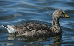 Gosling profile (PChamaeleoMH) Tags: birds fauna geese goslings greylaggeese wimbledonpark greylags