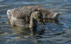 Dribbling (PChamaeleoMH) Tags: birds fauna geese goslings greylaggeese wimbledonpark greylags