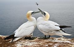 Basstölpel  (Morus bassanus ) (h.herbig) Tags: seabirds basstölpel helgoland lummenfelsen nikond7500 wildlife nature eye