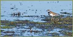 Killdeer in its preferred habitat. (Ludo (Lone wolf) Bogaert.) Tags: xp