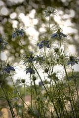Les nigelles (leon.vaillat) Tags: fleurs jardin nature lumieres