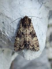 Clouded Brindle (Baractus) Tags: clouded brindle john oates lakes moth earlswood westmidlands uk