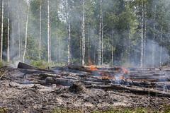 Telkkämäki slash-and-Burn (JP Korpi-Vartiainen) Tags: finland june kaavi pohjoissavo telkkämäki burn casque forest forestry grove kaski kesä kesäkuu luonto metsikkö metsä metsämaa nature perinteinen polttaa puu slashandburn spinney summer traditional tree työ työmenetelmä woodland woods work working