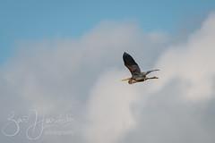 Purple Heron (Bart Hardorff) Tags: heron juni alblasserwaard reiger 2019 purpleheron ardeapurpurea zouweboezem purperreiger