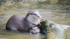 Just friends (pootlepod) Tags: canon 7dmkii wildlife otters river water feeding pairs family portrait fur wet fish food claws paws feet ears nature raw natural wild fauna uk devon sanctuary reserve habitat species