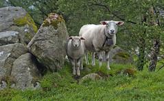 Sheltered (Anders_3) Tags: fossmork forsand rogaland norge norway nature sheep green nikon livestock animal fjordnorway lysefjorden 7s71730v2