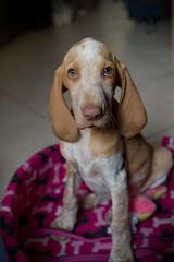 Sweet (nikinno1990) Tags: pet dog sweet petdog nikon braccoitaliano