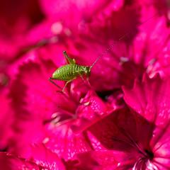 Creepy? (Hindrik S) Tags: insect flower pink blom bloem ynsekt beestje garden tún tuin jardin garten sonyphotographing sonyalpha sony α77 slta77ii sonyilca77m2 90mm tamronspaf90mmf28dimacro amount minoltaamount 2019