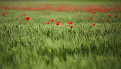 Here comes the sun again (chtimageur) Tags: poppies flowers fields summer red green landscape champs fleurs