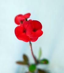 gemellini rossi (fotomie2009) Tags: euphorbia milii semisucculenta succulent succulenta spina di cristo crown thorns christ plant coronadecristo red flora flower fiore
