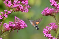 Hummingbird moth and spring flowers (karen leah) Tags: hummingbirdhawkmoth hummingbird moth pink flower colour spring beauty nature outdoors wildlife llanerchaeron ceredigion june