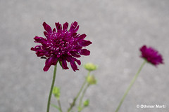 Purple Bloom (OthmarMarti) Tags: badenwürttemberg botanischergarten deu dmcg6 deutschland lumix30mmmacrof28 panasonic ulm geo:lat=4842150969 geo:lon=996036595 geotagged blume blüte purpur purple