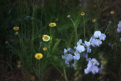Dream Theatre* (Fr@ηk ) Tags: flower grass plant petal field anemone nature floweringplant flora ball geranium hayfield small fish garden wildflower standing acanthaceae beautiful stilllife yellow arenaria green iris summer meadow holding flax color bellflower black floral white pollen season man amaryllidaceae moss blooming young araceae desktop red weed closeup lily sun swinging orchid bright adult naked beauty landscape hot dust mrtungsten62 frnk europe sonya7rm2 fdn1450mm bokeh dof edit dreamy magic wind canonfdnf1450mm 45showads46