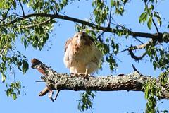 Boss (Starfreak611) Tags: hawk bird animal nature canonphotography canon outdoors wildlife june summer summertimecapture park