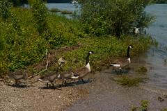 Kanadagänse (Lutz Blohm) Tags: kanadagänse rheinufer rhein naturfoto natur sonyfe24105mmf4goss sonyalpha7aiii