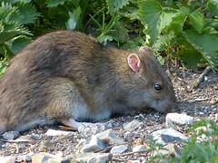 Brown Rat P1450506mods (Andrew Wright2009) Tags: langford lakes hampshire england uk wild animals brown rat