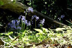 English Bluebells P1450536mods (Andrew Wright2009) Tags: fishlake meadows romsey hampshire england uk wild flowers english bluebells